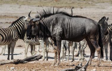 Blue Wildebeest at the Waterhole, Etosha, Namibia