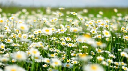 Ромашки цветут в поле