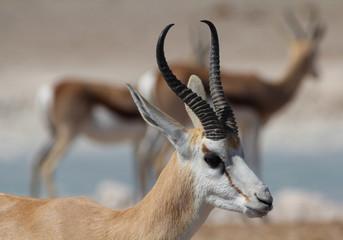Springbok Portrait, Etosha, Namibia