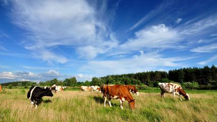 Коровы на пастбище в солнечную летнюю погоду