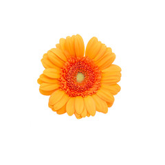 Gerbera flower on a white background