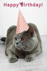 British Short hair cat in room