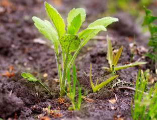 Small green sprout growing in the ground