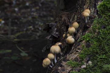 Several coprinus micaceus mushrooms on a tree.