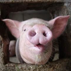 nez de porc