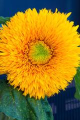 Single Yellow Sunflower 'Teddy Bear'