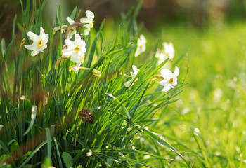 white narcissus with green grass and ray of sun