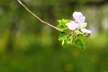 Blooming branch of apple on a green background