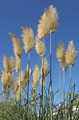 herbe de la Pampa