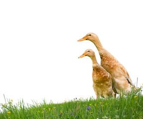 Ducks isolated