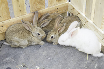 Herd farm rabbits