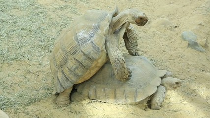 couple, tortue