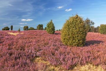Heidelandschaft bei Wilsede in der Lüneburger Heide