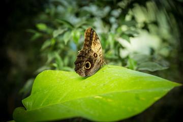 Wunderschöner seltener Schmetterling