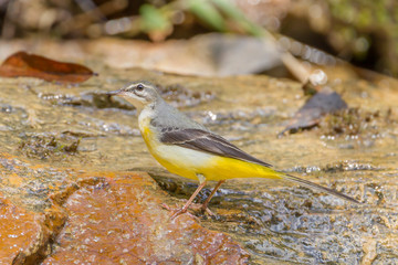Left side of Yellow Wagtail