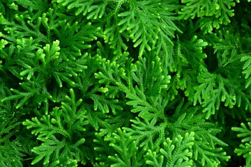 Closeup of ground cover species with bright green leaves.
