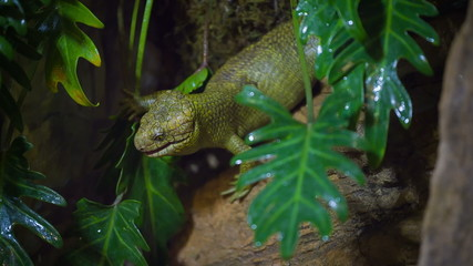 Solomon Island monkey-tailed skink