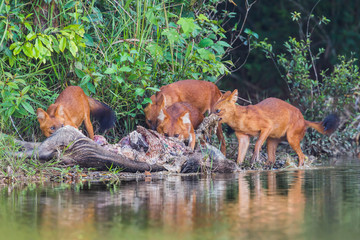 Group of Asian Wild Dog eating wild bore pig