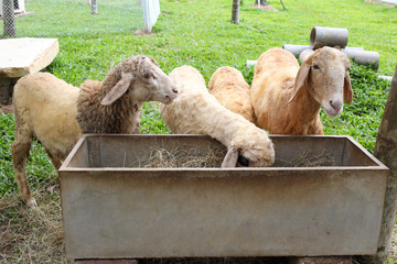 sheep eating food in farm agriculture