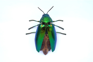 Jewel beetle ready to fly isolated on white background