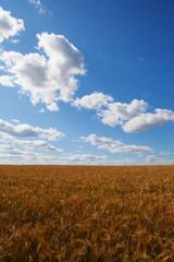 golden harvest under cloudy sky