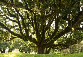 Old laurel tree on Madeira, Portugal