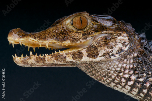 Smooth-fronted dwarf caiman / Paleosuchus trigonatus