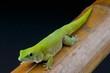 Koch's day gecko / Phelsuma madagascariensis kochi