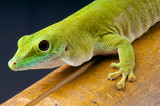 Giant day gecko / Phelsuma madagascariensis kochi poster