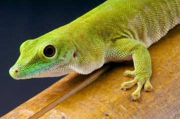 Giant day gecko / Phelsuma madagascariensis kochi