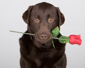 Labrador with Rose
