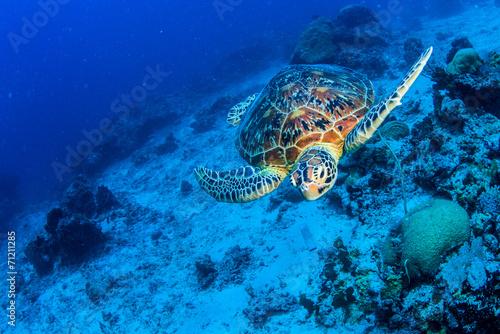 Turtle - 71211285