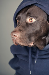 Chocolate Labrador in Hood