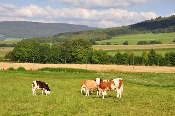 Kühe in der Rhön