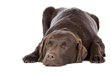 Handsome Chocolate Labrador Asleep