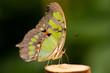 canvas print picture - Schmetterling