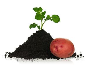 Potato in soil