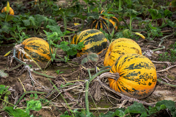 Ripe pumpkins in the field