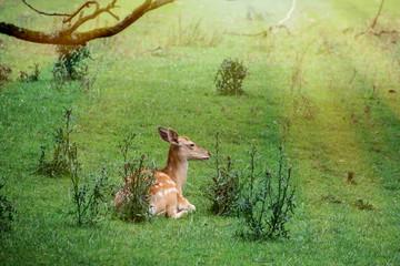 The fallow deer (Dama dama) resting in the grass
