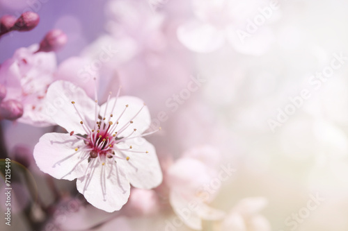 Plexiglas Kersen Cherry branch in blossom