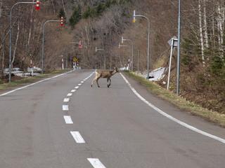 道路を横切るシカ