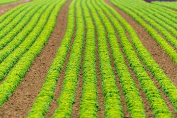 Grünes Salatfeld