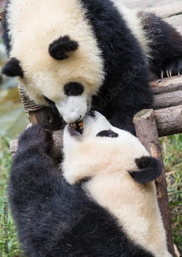 Foto op Canvas Panda Pandas