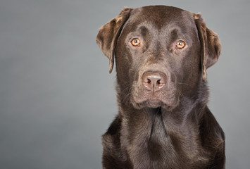 Proud Chocolate Labrador against Grey