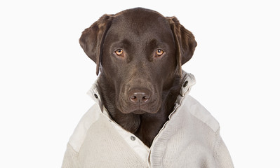Handsome Chocolate Labrador in Trendy Cream Jumper against a Whi