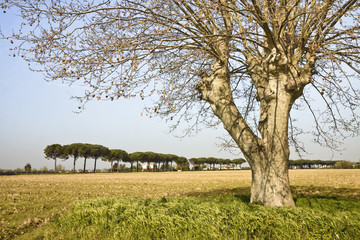 Isolated tree in a field (Tuscany - Italy)