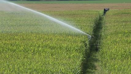 Spray irrigation of corn