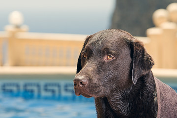 Labrador by Swimming Pool