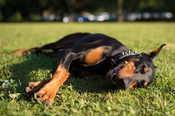 芝生に寝転ぶドーベルマン