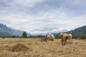 Cattle herds in rice field in Vang Vieng,Laos.